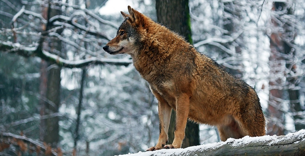 Canis lupus - wolf