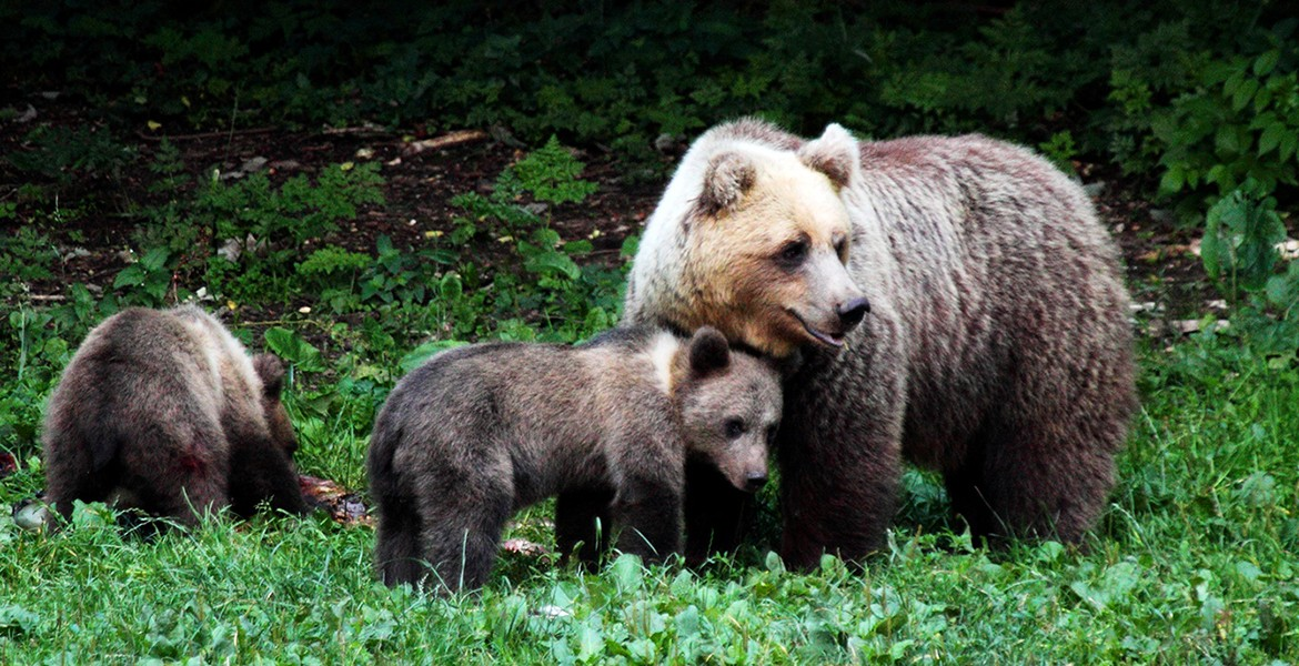 Ursus arctos - brown bear